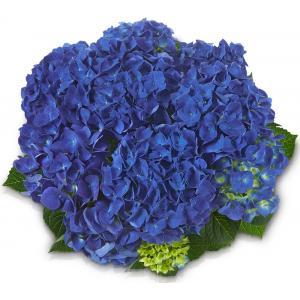 """Hydrangea Macrophylla Classic® """"Jip""""® boerenhortensia"""