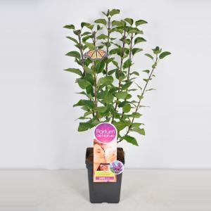 Plantenwinkel.nl Sering (syringa vulgaris Ludwig SpäthParfum de Nature)
