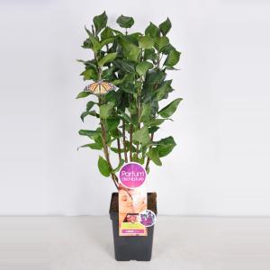 Plantenwinkel.nl Sering (syringa vulgaris Charles JolyParfum de Nature)