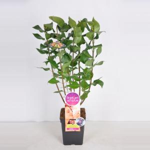 Plantenwinkel.nl Sering (syringa vulgaris Michel BuchnerParfum de Nature)