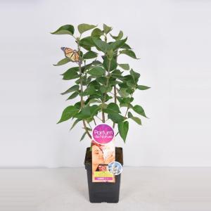 Plantenwinkel.nl Sering (syringa vulgaris Mme LemoineParfum de Nature)