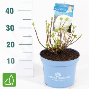 "Hydrangea Macrophylla ""Endless Summer White""® boerenhortensia"