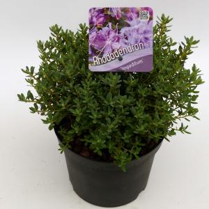 """Dwerg rododendron (Rhododendron """"Lavendula"""") heester"""