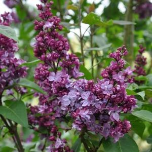 Plantenwinkel.nl Sering (syringa vulgaris Adelaide Dunbar)