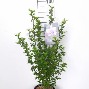 Hibiscus struik Leopoldii - 5 stuks