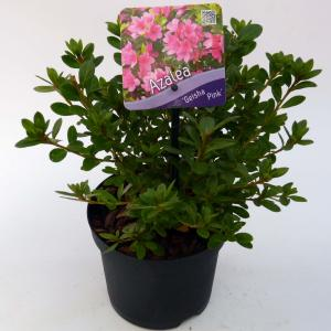 """Rododendron (Rhododendron Japonica """"Geisha Pink"""") heester"""