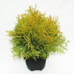 "Westerse levensboom (Thuja occidentalis ""Golden Globe"") conifeer"