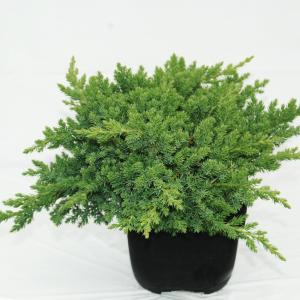"Kruipende jeneverbes (Juniperus procumbens ""Nana"") conifeer"