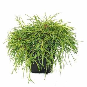 "Schijncipres (Chamaecyparis pisifera ""Filifera Nana"") conifeer"