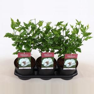 Hibiscus struik Speciosus - 40 cm - 3 stuks