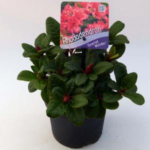 """Rododendron (Rhododendron Repens """"Scarlet Wonder"""") heester"""