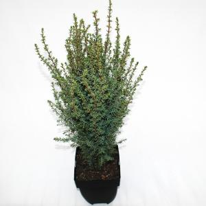 "Jeneverbes (Juniperus communis ""Arnold"") conifeer"