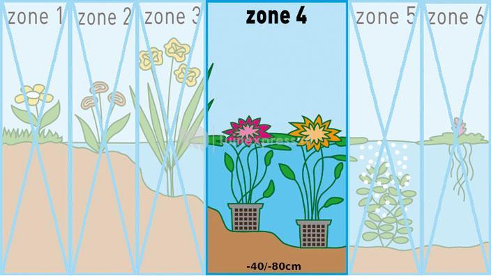 Zalmroze waterlelie (Nymphaea Colorado) waterlelie