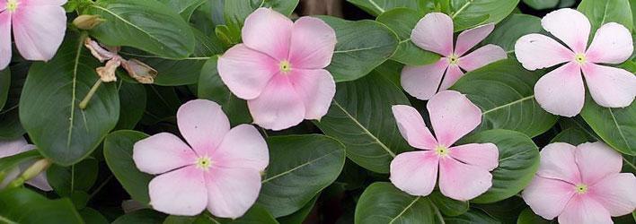 Tuinplanten - Vaste planten - Bodembedekkers
