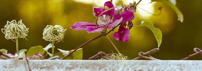 Tuinplanten - Klimplanten - Clematis