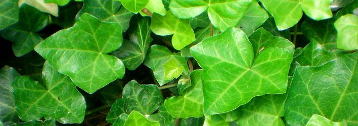 Tuinplanten - Klimplanten - Hedera