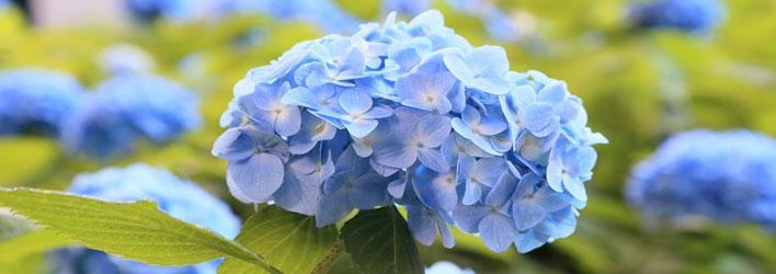 Tuinplanten - Heesters - Hortensia