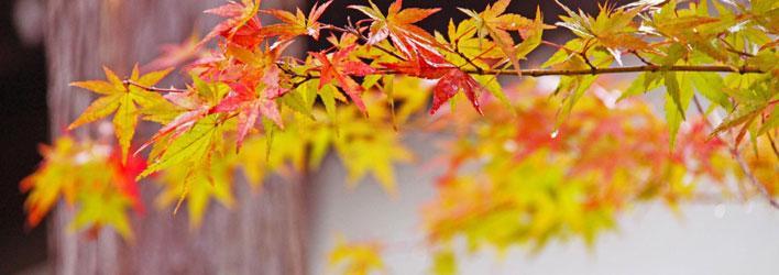 Tuinplanten - Heesters - Japanse esdoorn