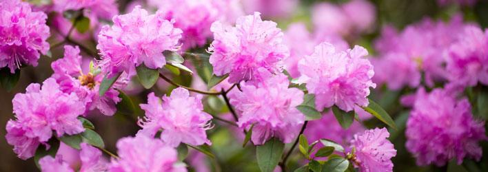 Tuinplanten - Heesters - Rododendron