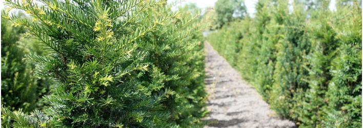 Tuinplanten - Heesters - Taxus baccata