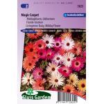 Ijsbloemen bloemzaden – Magic Carpet
